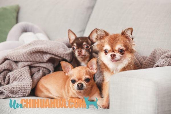 ¿Chihuahuas dueños del sofá ?