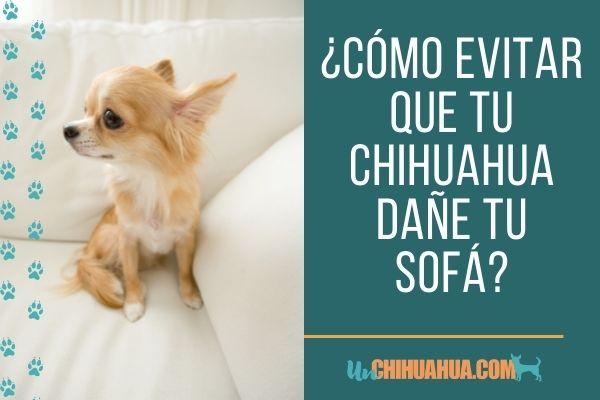¿Cómo evitar que tu chihuahua dañe tu sofá?
