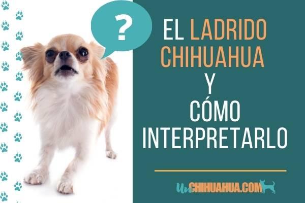 Ladrido chihuahua: todo un idioma, cómo interpretarlo ?