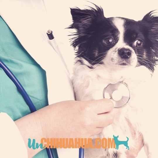 veterinario para tu chihuahua