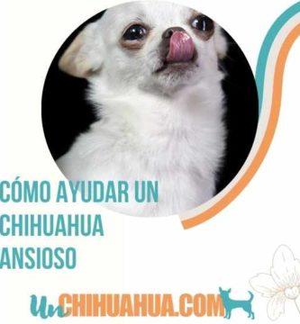 chihuahua ansioso