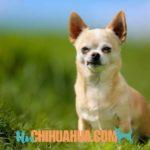 demencia en perros chihuahuas