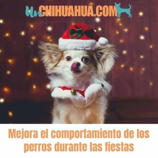 comportamiento de los perros - Comportamiento de los perros chihuahuas, cómo mejorarlo en las fiestas? Tiempos de stress y ansiedad que debemos ayudarles a manejar